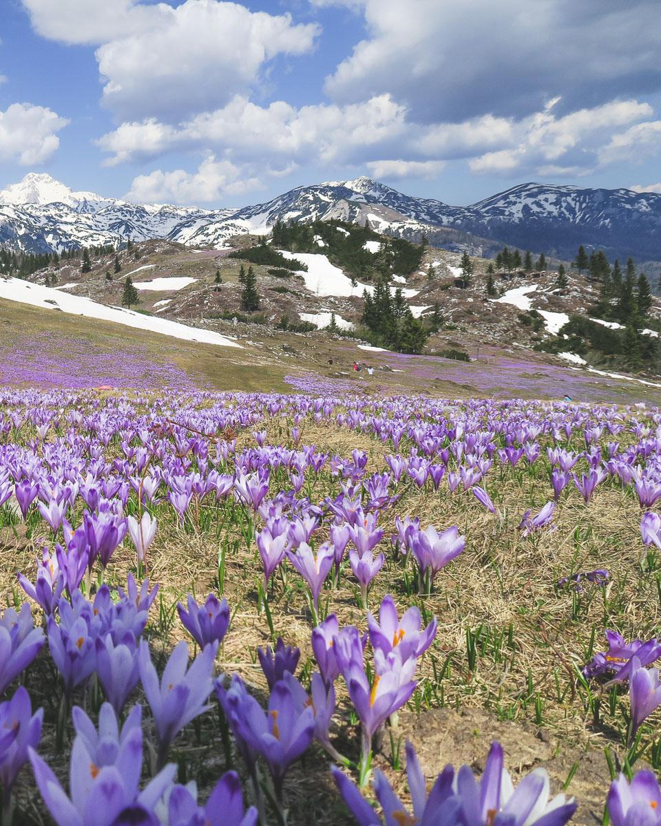 crocus flowers in velika planina