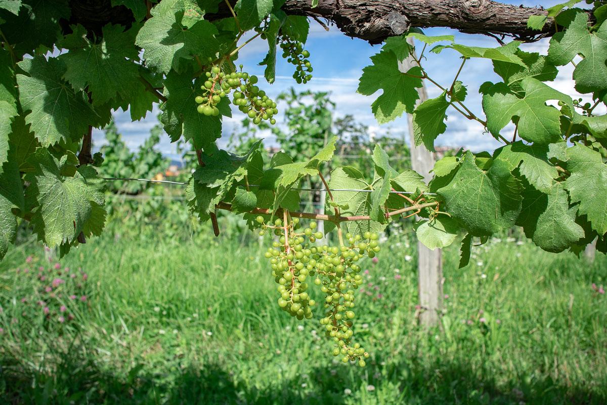 vineyard in Brda